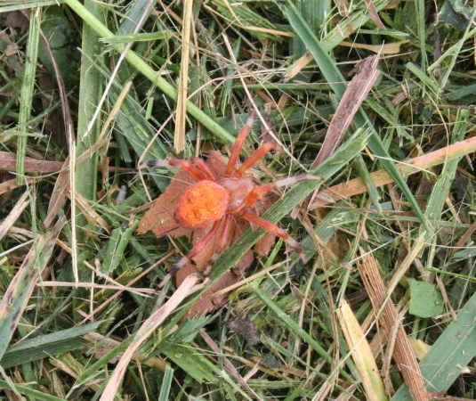 orange-spider