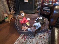 Bonaparte with toys on his bed